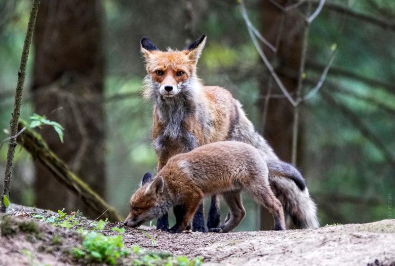 лисицы под Минском