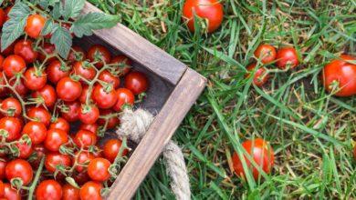 помидоры 3