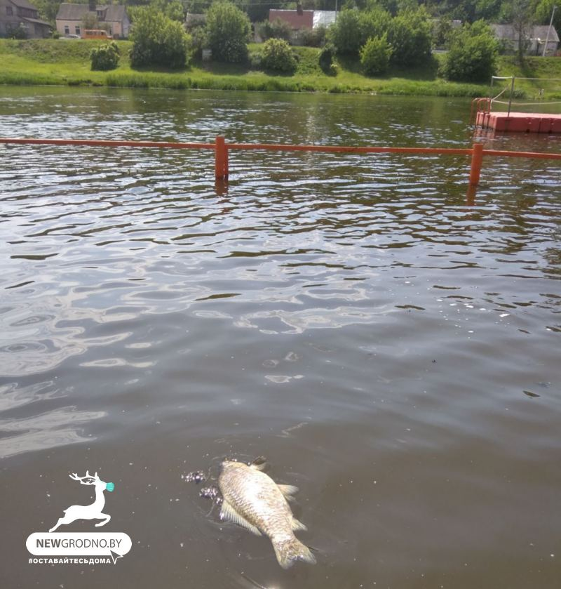 гибель рыбы неман